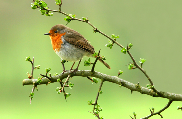 photo-blog-springtime-robin